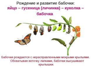 Рождение и развитие бабочки: яйцо – гусеница (личинка) – куколка – бабочка Ба