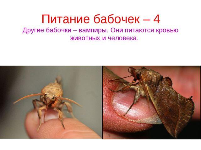 Питание бабочек – 4 Другие бабочки – вампиры. Они питаются кровью животных и...