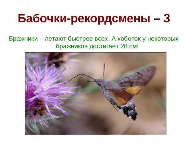 Бабочки-рекордсмены – 3 Бражники – летают быстрее всех. А хоботок у некоторых...