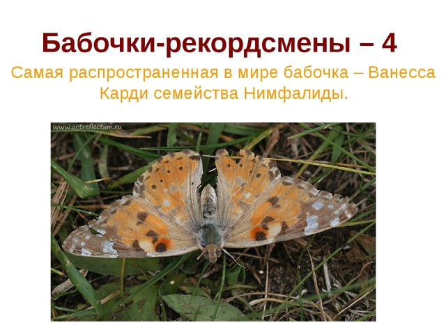 Бабочки-рекордсмены – 4 Самая распространенная в мире бабочка – Ванесса Карди...