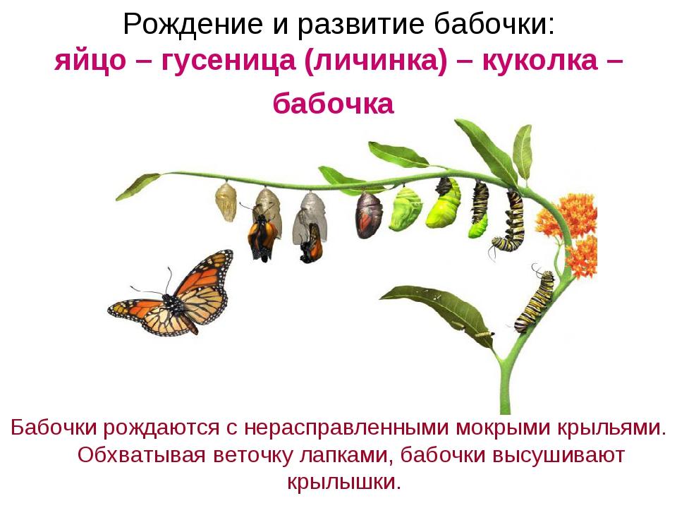 Рождение и развитие бабочки: яйцо – гусеница (личинка) – куколка – бабочка Ба...