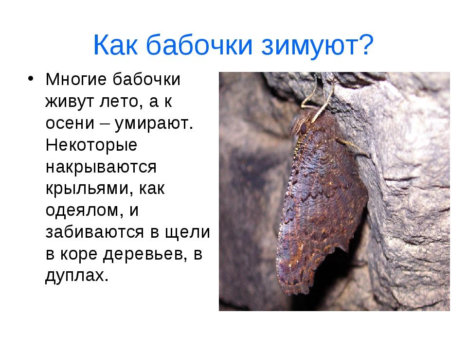 Как бабочки зимуют? Многие бабочки живут лето, а к осени – умирают. Некоторые...