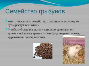 Семейство грызунов они относятся к семейству грызунов, и поэтому их зубы раст