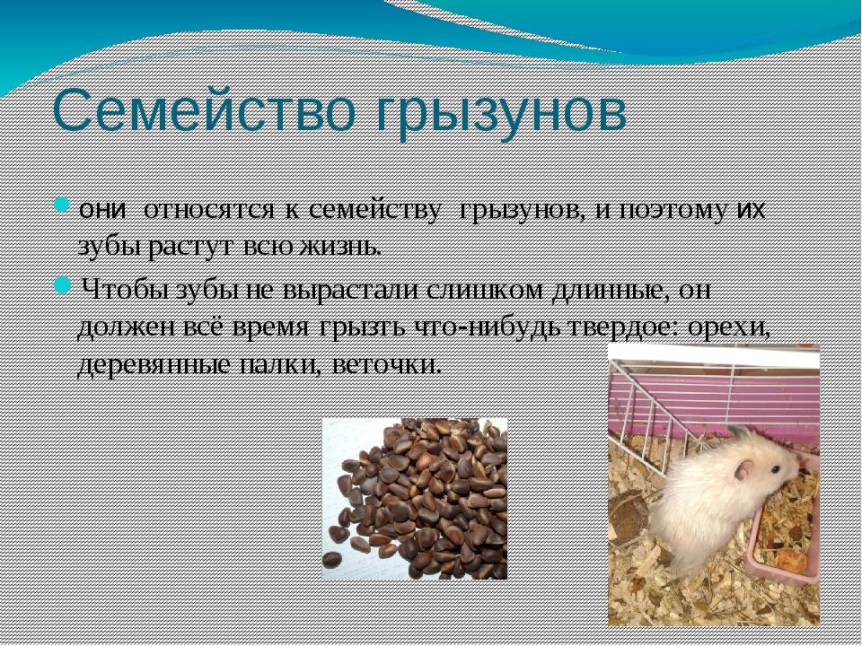 Семейство грызунов они относятся к семейству грызунов, и поэтому их зубы раст...