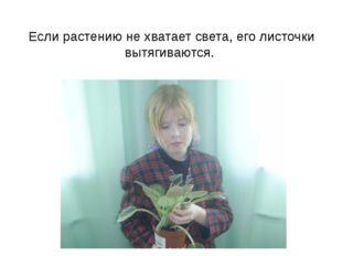 Если растению не хватает света, его листочки вытягиваются.