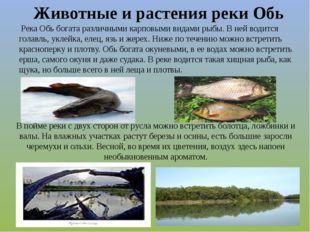 Река Обь богата различными карповыми видами рыбы. В ней водится голавль, укл