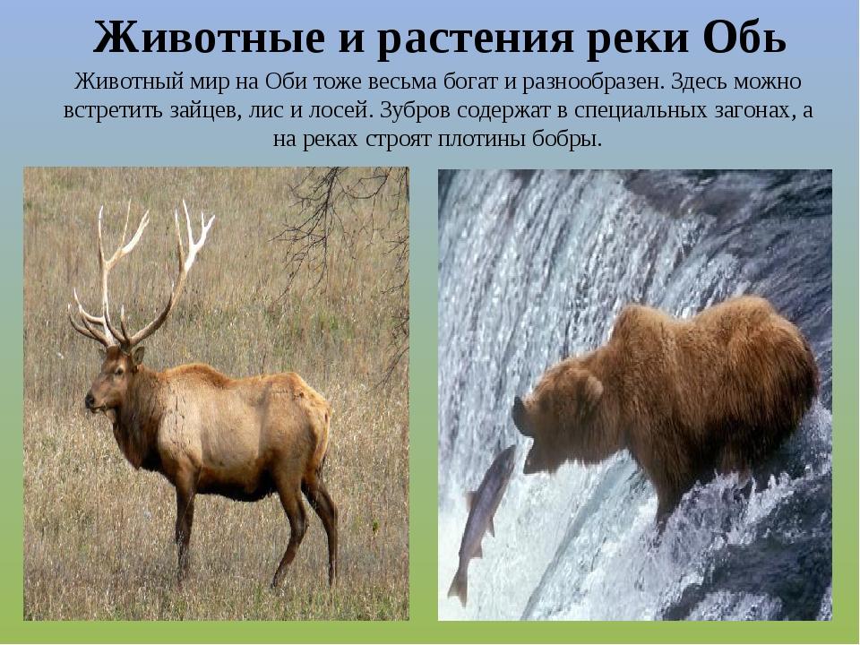 Животный мир на Оби тоже весьма богат и разнообразен. Здесь можно встретить з...