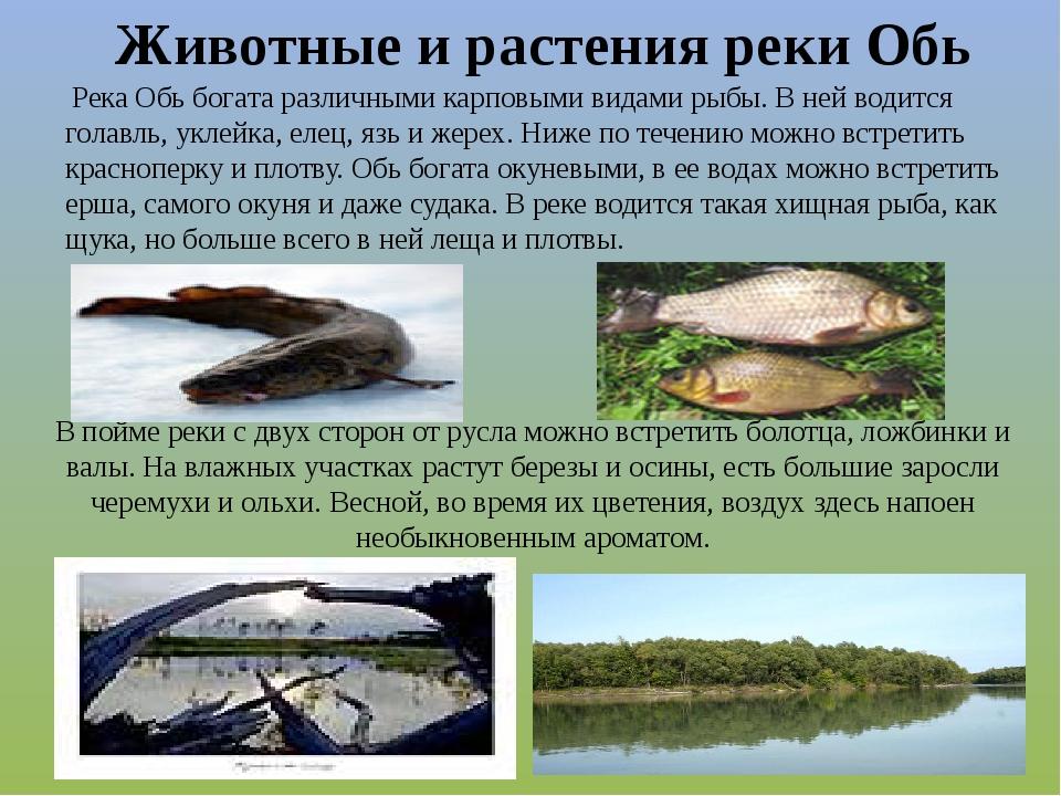 Река Обь богата различными карповыми видами рыбы. В ней водится голавль, укл...