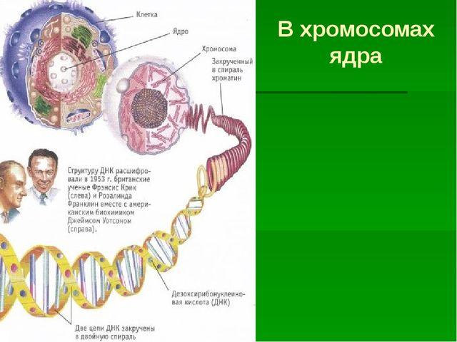 В хромосомах ядра