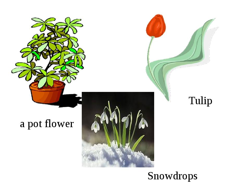 Snowdrops Tulip а pot flower