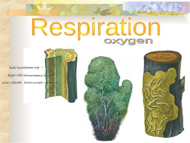 algae cells ( ( ( ) ) ) bark layer axial cylinder