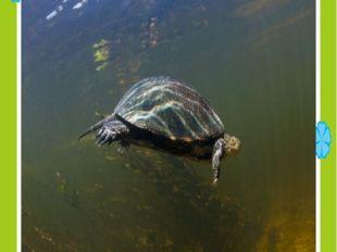 болотная черепаха сазлык ташбакасы