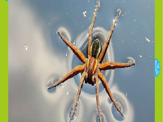 Кызыл китапка кертелгән хайваннар паук серебрянка