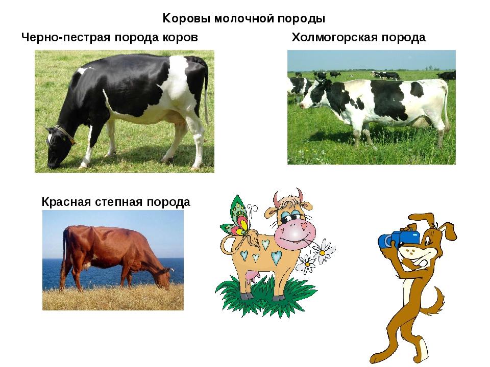 Черно-пестрая порода коров Коровы молочной породы Холмогорская порода Красная...