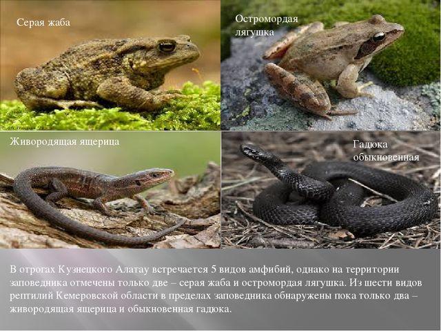 Серая жаба Остромордая лягушка Живородящая ящерица Гадюка обыкновенная В отро...