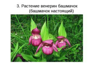 3. Растение венерин башмачок (башмачок настоящий)