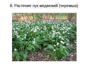 8. Растение лук медвежий (черемша)