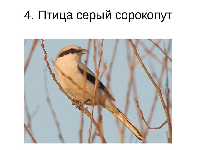 4. Птица серый сорокопут