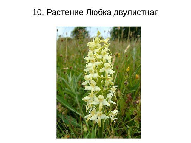10. Растение Любка двулистная
