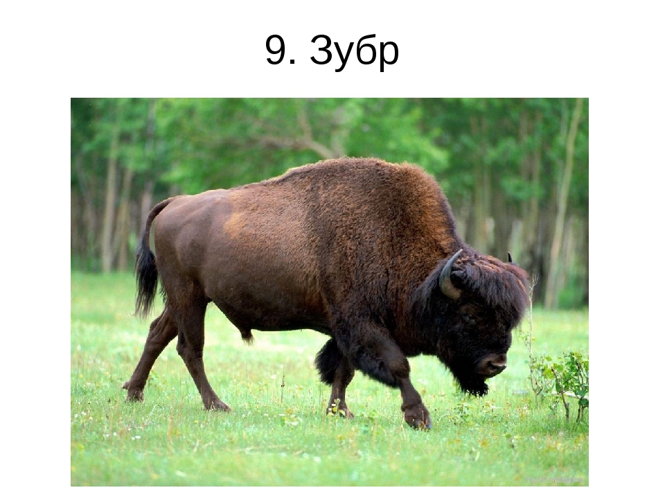 9. Зубр