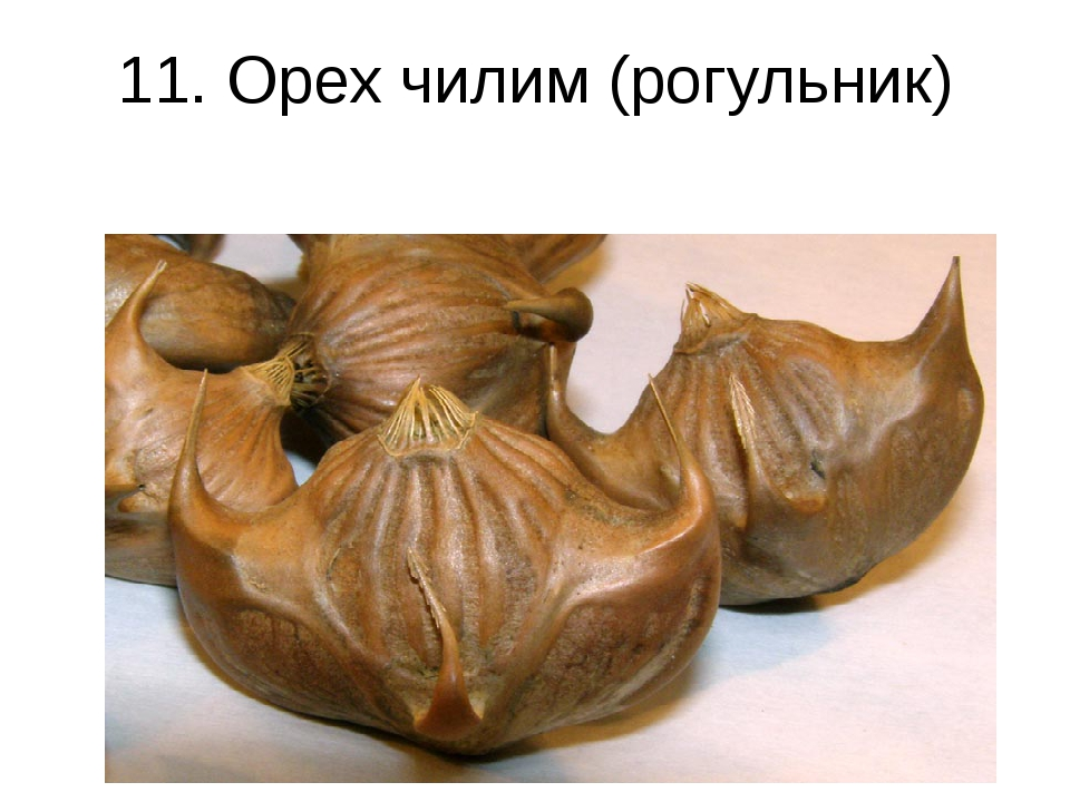 11. Орех чилим (рогульник)