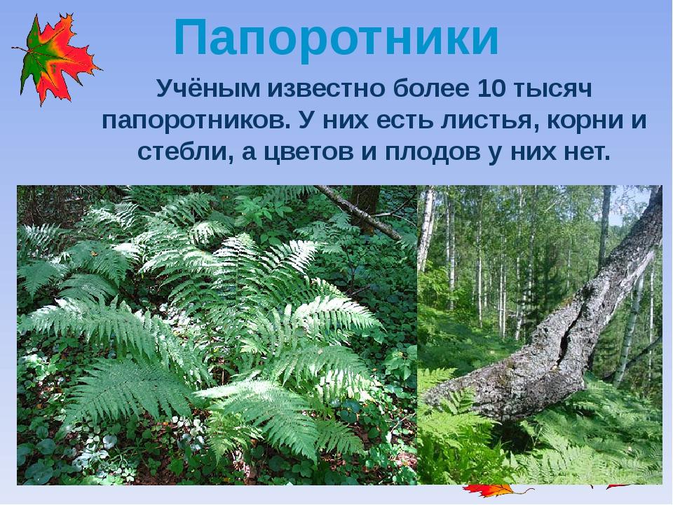 Папоротники Учёным известно более 10 тысяч папоротников. У них есть листья, к...