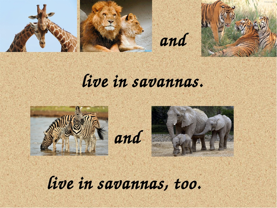 live in savannas. and and live in savannas, too.