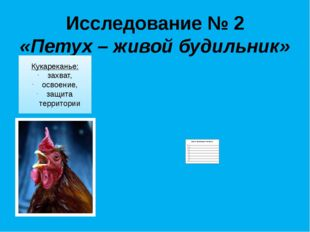 Исследование № 2 «Петух – живой будильник» Кукареканье: захват, освоение, защ