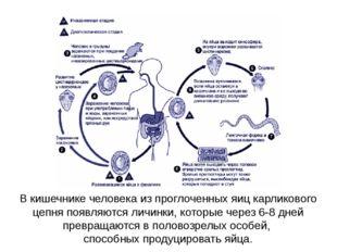 В кишечнике человека из проглоченных яиц карликового цепня появляются личинки