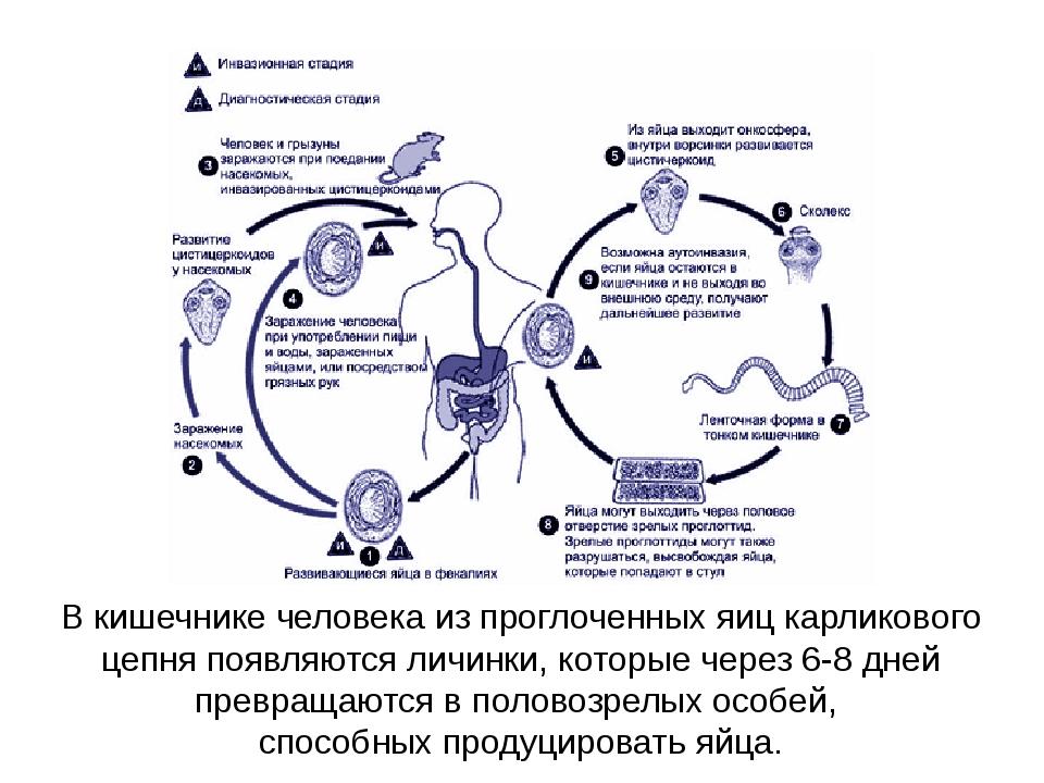 В кишечнике человека из проглоченных яиц карликового цепня появляются личинки...