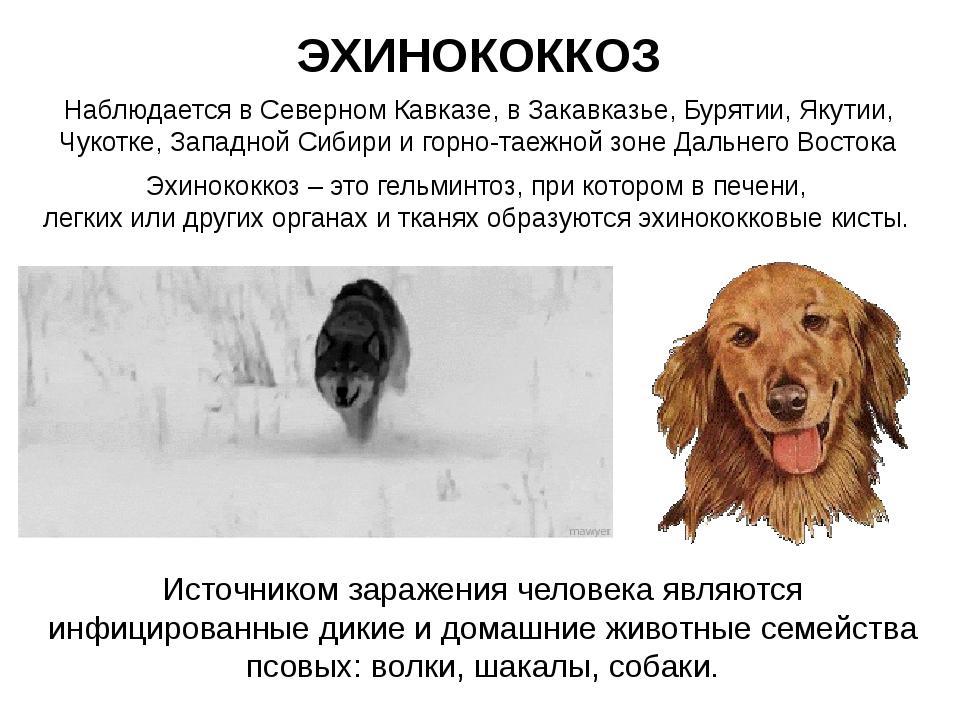 ЭХИНОКОККОЗ Наблюдается в Северном Кавказе, в Закавказье, Бурятии, Якутии, Чу...