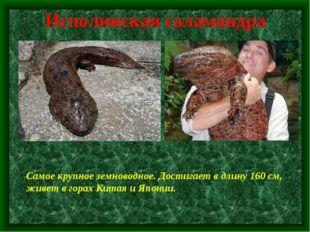 Исполинская саламандра Самое крупное земноводное. Достигает в длину 160 см, ж