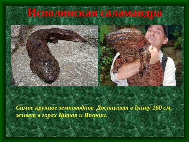 Исполинская саламандра Самое крупное земноводное. Достигает в длину 160 см, ж...