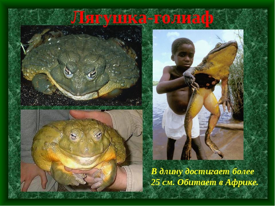 Лягушка-голиаф В длину достигает более 25 см. Обитает в Африке.