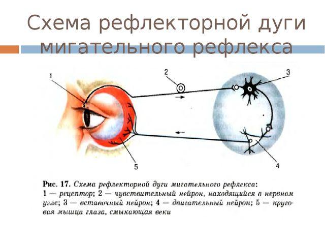 Схема рефлекторной дуги мигательного рефлекса