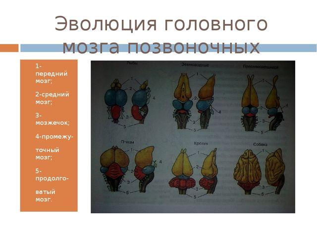 Эволюция головного мозга позвоночных животных 1-передний мозг; 2-средний мозг...