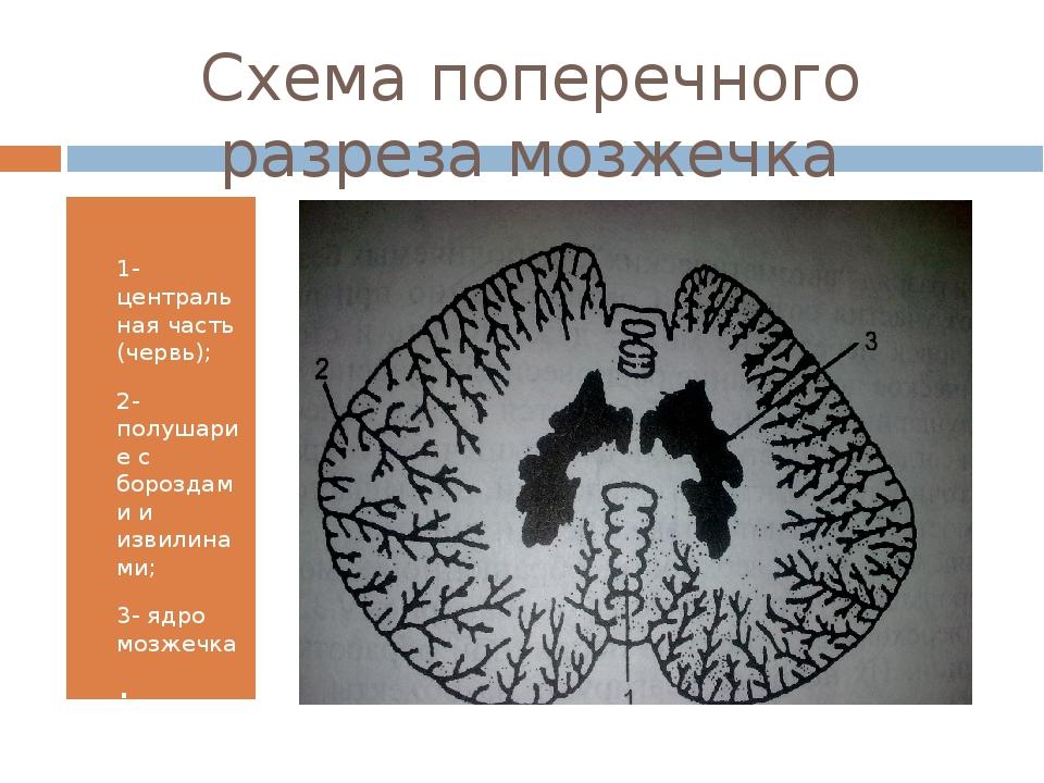 Схема поперечного разреза мозжечка 1- центральная часть (червь); 2-полушарие...