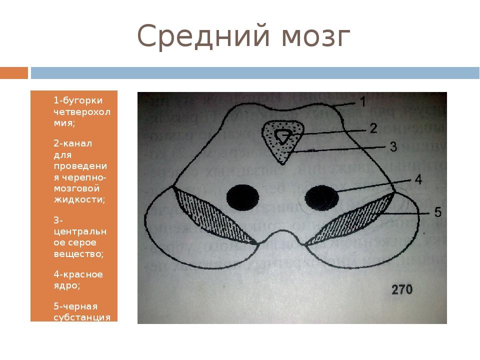 Средний мозг 1-бугорки четверохолмия; 2-канал для проведения черепно-мозговой...