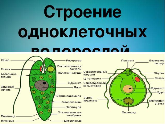 Строение одноклеточных водорослей.