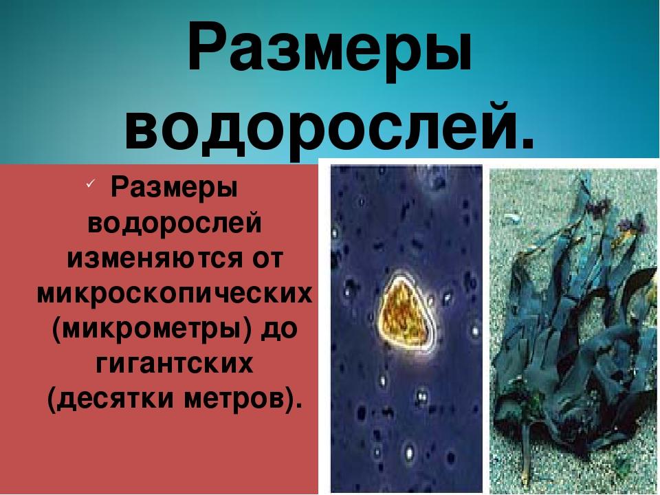 Размеры водорослей. Размеры водорослей изменяются от микроскопических (микром...