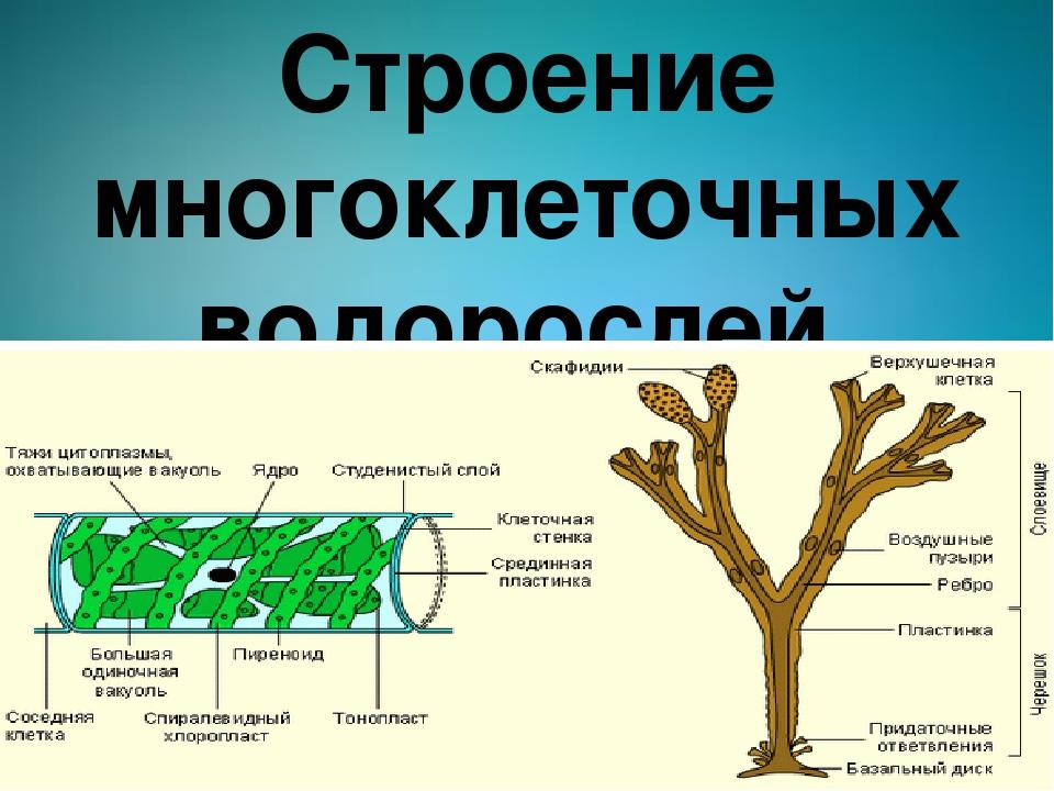 Строение многоклеточных водорослей.