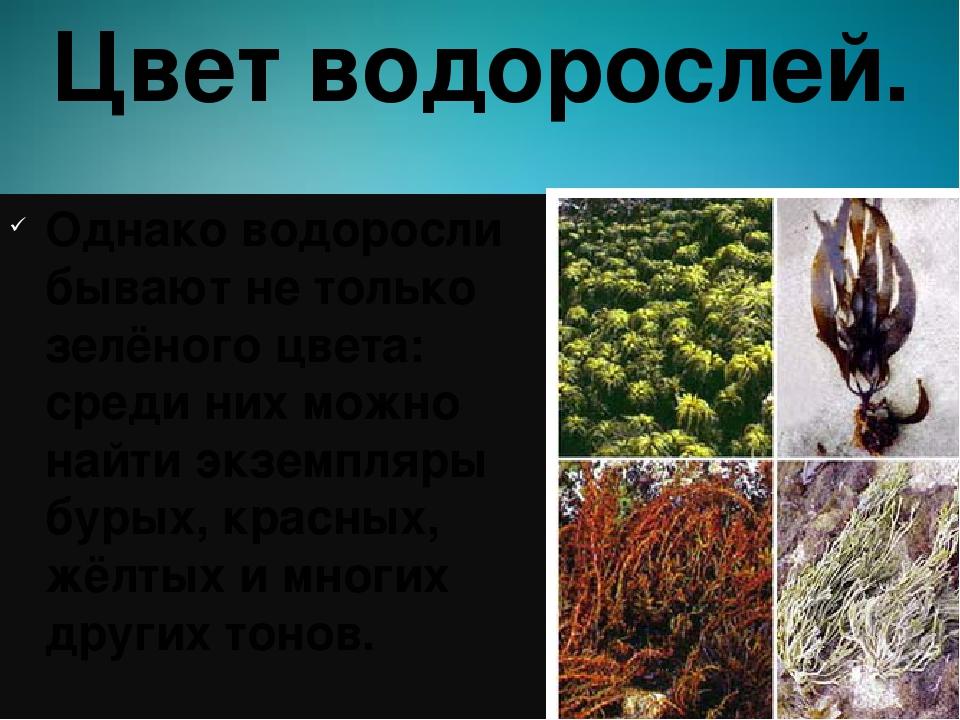 Цвет водорослей. Однако водоросли бывают не только зелёного цвета: среди них...