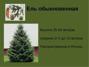 Ель обыкновенная Высота 25-60 метров. Ширина от 6 до 10 метров. Распространен