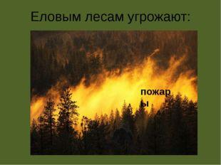 Еловым лесам угрожают: пожары