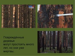 Повреждённые деревья могут простоять много лет, но они уже мертвы.