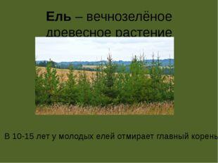 Ель – вечнозелёное древесное растение В 10-15 лет у молодых елей отмирает гла