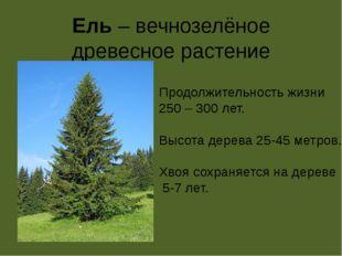 Ель – вечнозелёное древесное растение Продолжительность жизни 250 – 300 лет.