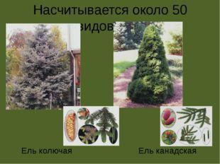 Насчитывается около 50 видов ели. Ель колючая Ель канадская