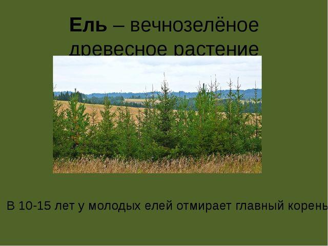 Ель – вечнозелёное древесное растение В 10-15 лет у молодых елей отмирает гла...