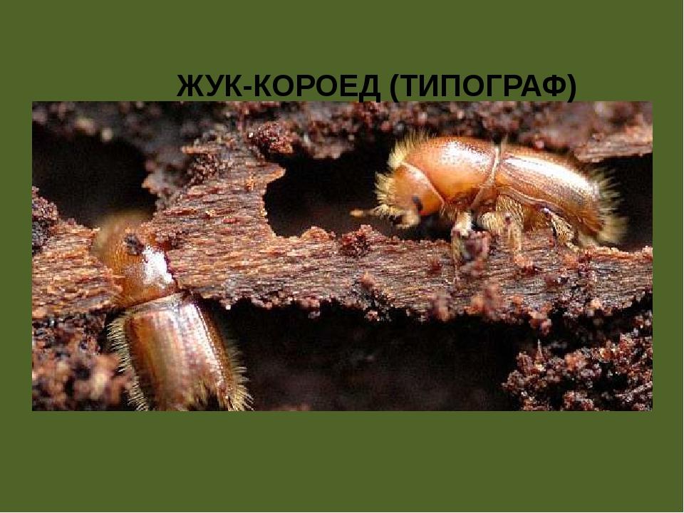 ЖУК-КОРОЕД (ТИПОГРАФ)